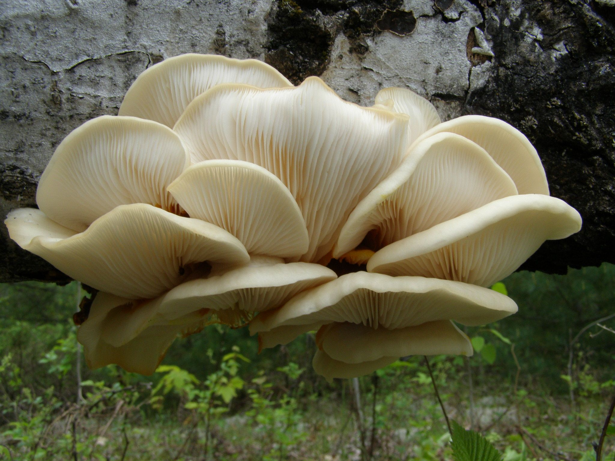 Pleurotus populinus ?, par Rénald Ferland